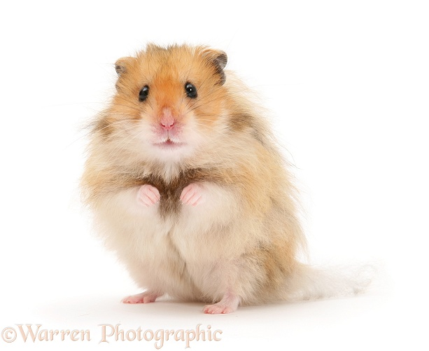 Long-haired Syrian Hamster, white background