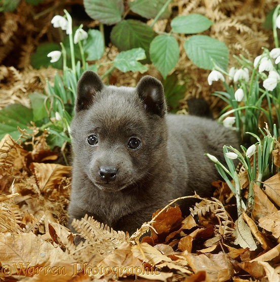 Blue Schipperke (Belgian/Dutch Barge Dog) puppy, 6 weeks old