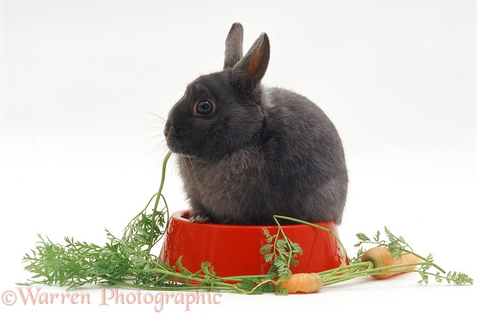 Blue Dwarf female rabbit, in a plastic bowl, eating carrot tops, white background