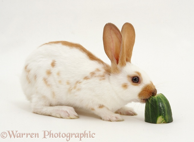 Sandy spotted English rabbit eating a chunk of cucumber, white background