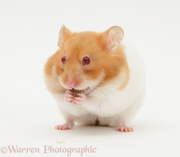 Short-haired Syrian Hamster stuffing its pouches, white background
