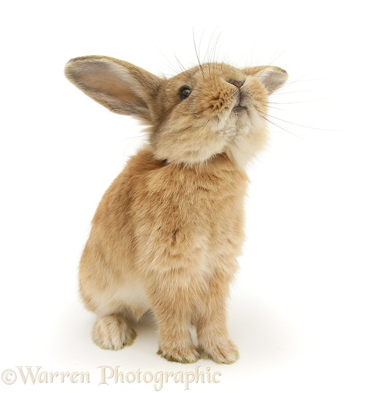 Lionhead-cross rabbit, white background