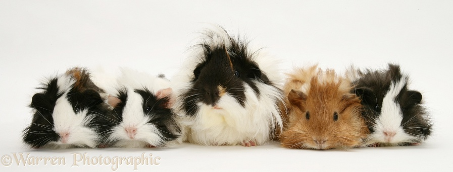 Bad-hair-day mother Guinea pig and four piglets, white background