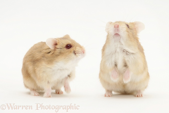 Two Dwarf Russian Hamsters (Phodopus sungorus), white background