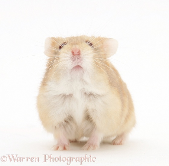 Dwarf Russian Hamster (Phodopus sungorus), white background