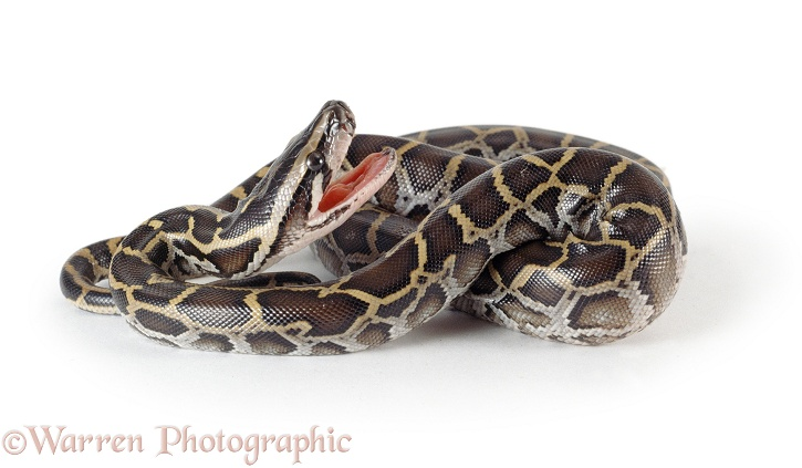 Burmese Python (Python molurus) newly hatched from an egg.  SE Asia, white background