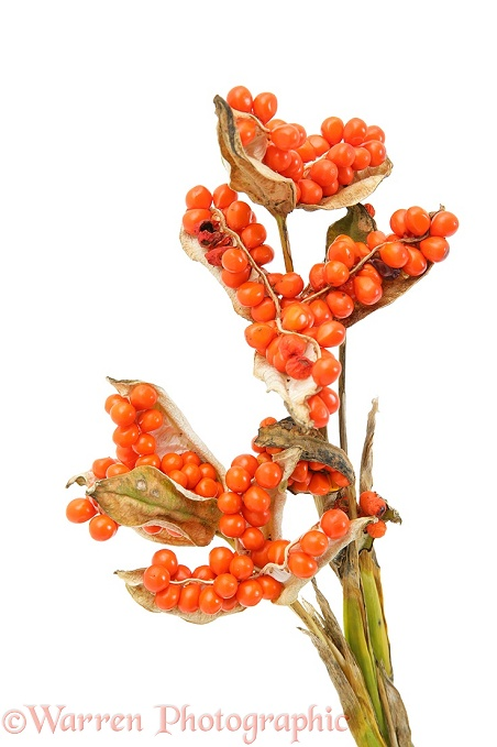 Stinking Iris (Iris foetidissima) seeds, white background