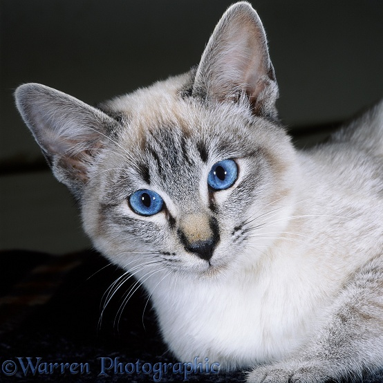 Portrait of tabby-point Siamese cat