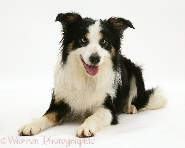 Border Collie dog, Baloo, lying with head up, white background