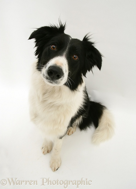 Black-and-white Border Collie bitch, Phoebe, white background