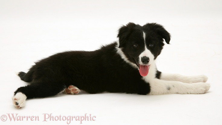 Black-and-white Border Collie pup, Pepper, lying with head up, white background