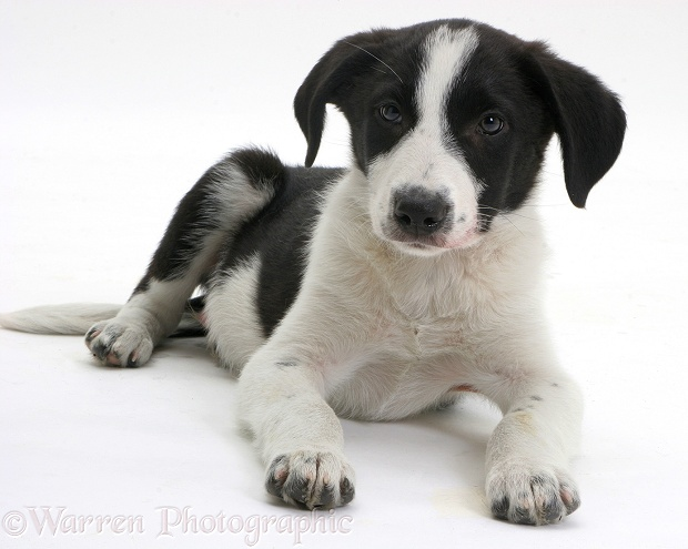 Black-and-white Border Collie pup, white background