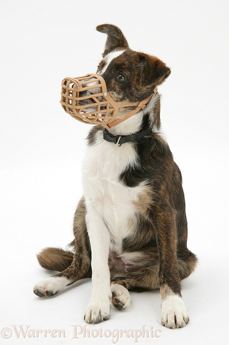 Mongrel puppy, Brec, wearing a muzzle, white background