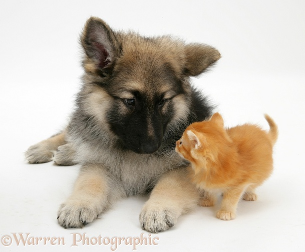 Ginger kitten with German Shepherd Dog bitch pup, Echo, white background