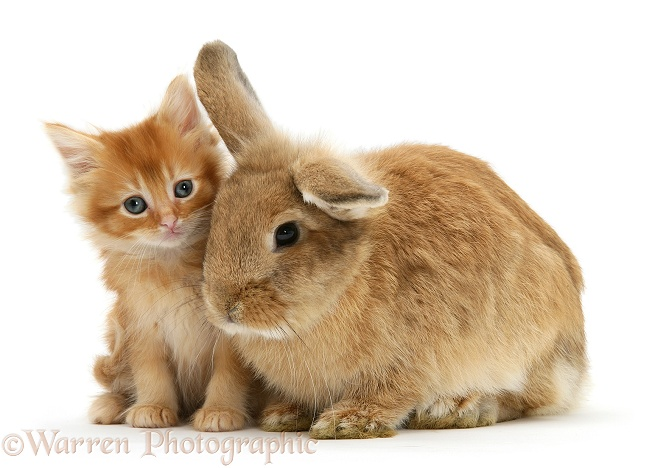 Ginger kitten with Lionhead-cross rabbit, white background