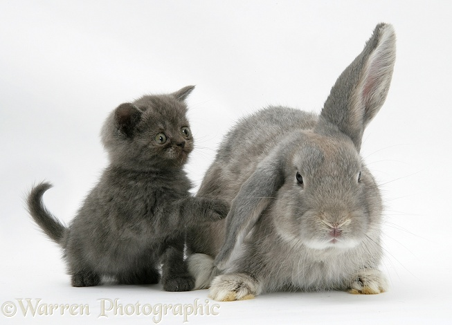 Grey kitten with grey windmill-eared rabbit, white background