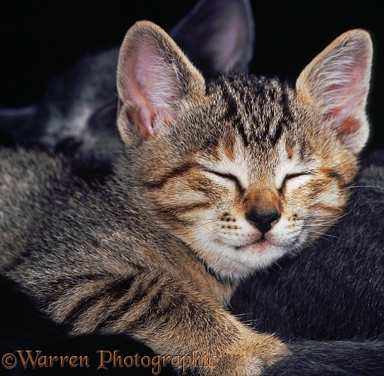 Tabby kitten asleep