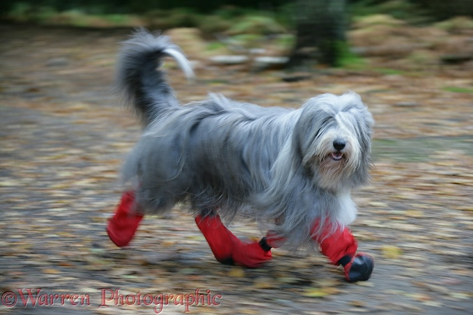 Bearded Collie bitch, Flora, running with boots on