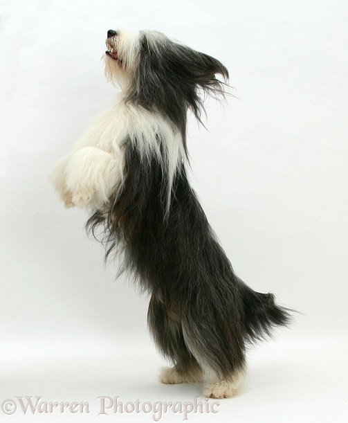 Bearded Collie bitch, Ellie, jumping up, white background