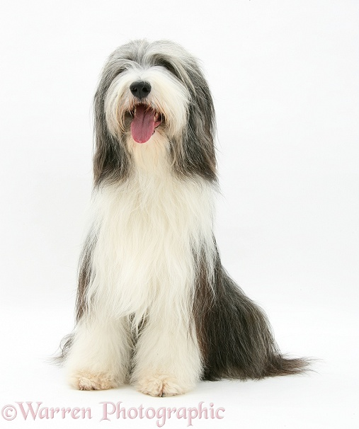 Bearded Collie bitch, Ellie, sitting, white background