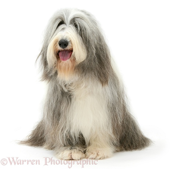 Bearded Collie bitch, Flora, sitting, white background