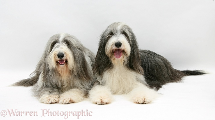 Bearded Collie bitches, Flora and Ellie, white background