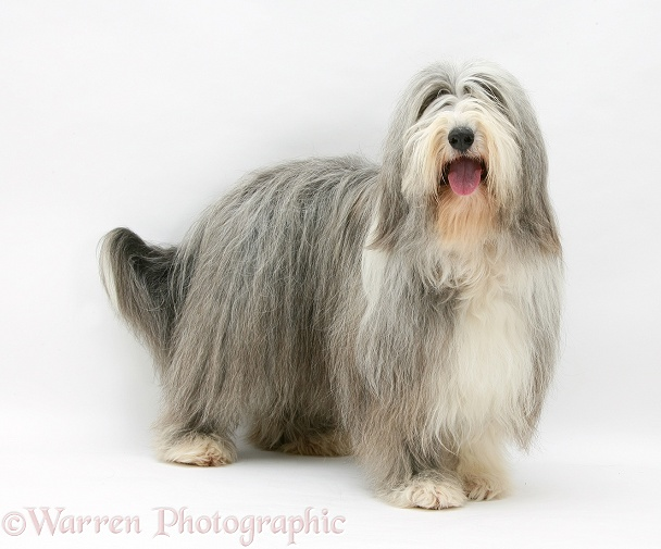 Bearded Collie bitch, Flora, white background