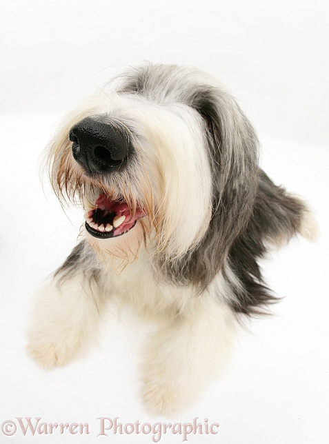 Bearded Collie bitch, Ellie, lying with head up, white background