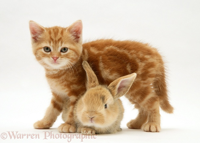 Red tabby British Shorthair kitten and baby sandy Lop rabbit, white background