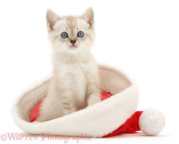 Birman-cross kitten in a Father Christmas hat, white background
