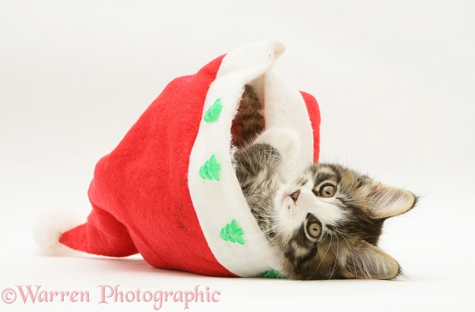 Maine Coon kitten, 8 weeks old, in a Santa hat, white background