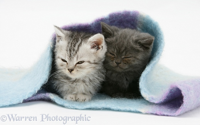 Two kittens asleep under a scarf, white background
