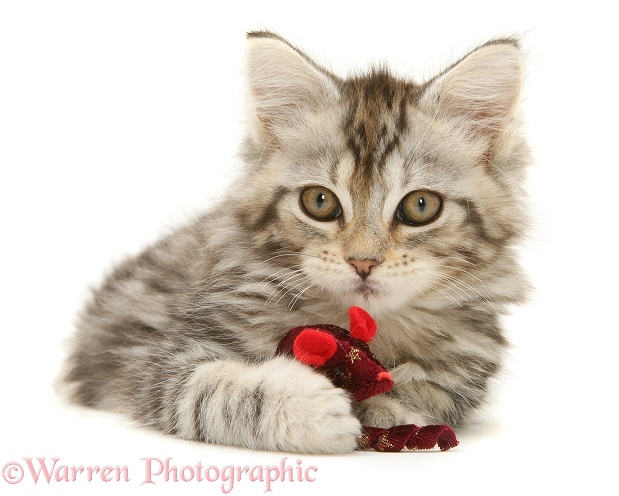 Tabby Maine Coon kitten playing with a toy mouse, white background