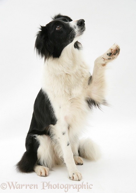 Black-and-white Border Collie Phoebe holding up a paw, white background