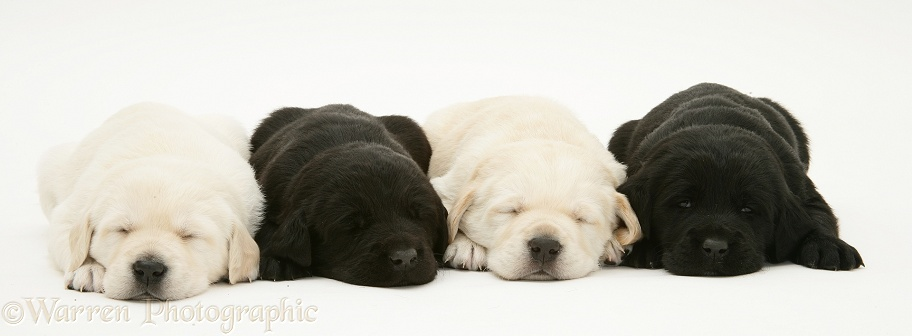 Sleepy black and yellow Goldador pups, white background