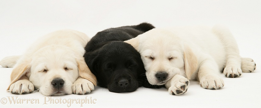 Sleepy yellow and black Goldador Retriever pups, white background