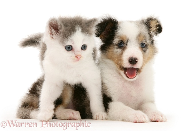 WP17521 Birman-cross kitten and tricolour merle Shetland Sheepdog pup.: www.warrenphotographic.co.uk/17521-birman-cross-kitten-sheltie-pup