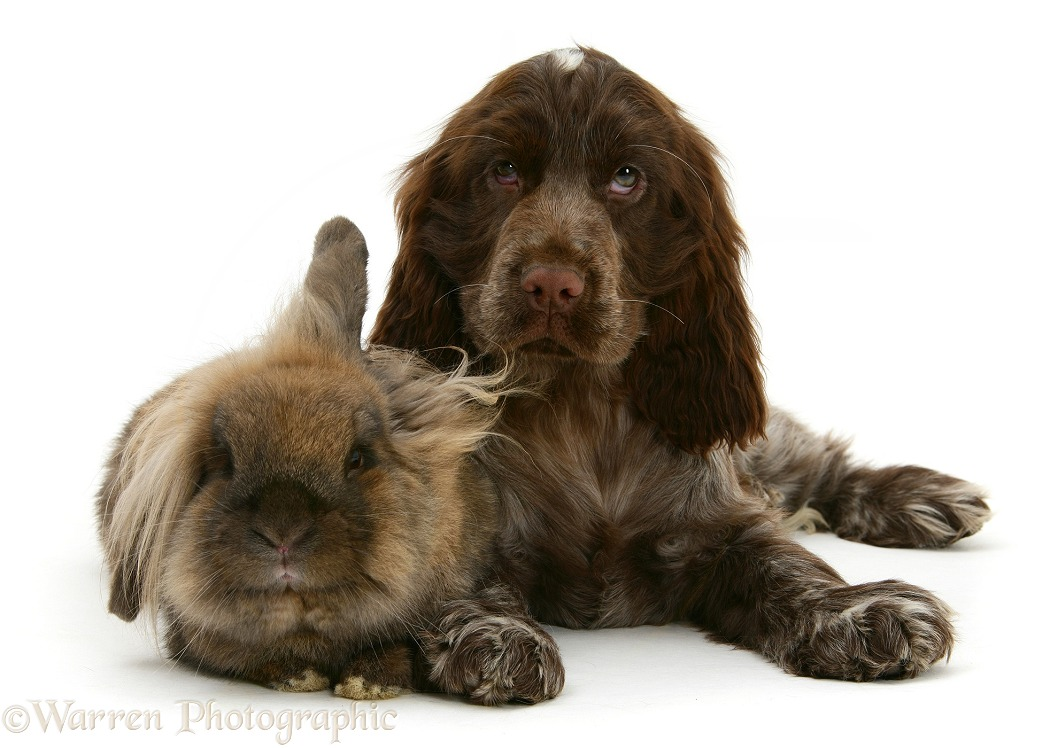 Chocolate roan Cocker Spaniel pup, Topaz, 12 weeks old, with Lionhead rabbit, white background