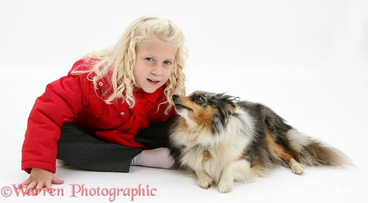 Siena (5) with merle Shetland Sheepdog bitch Sapphire, white background