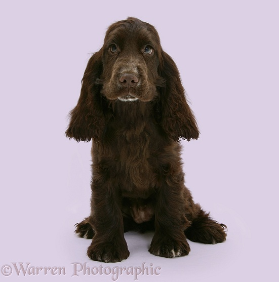 Chocolate Cocker Spaniel pup, Cadbury, 12 weeks old, white background