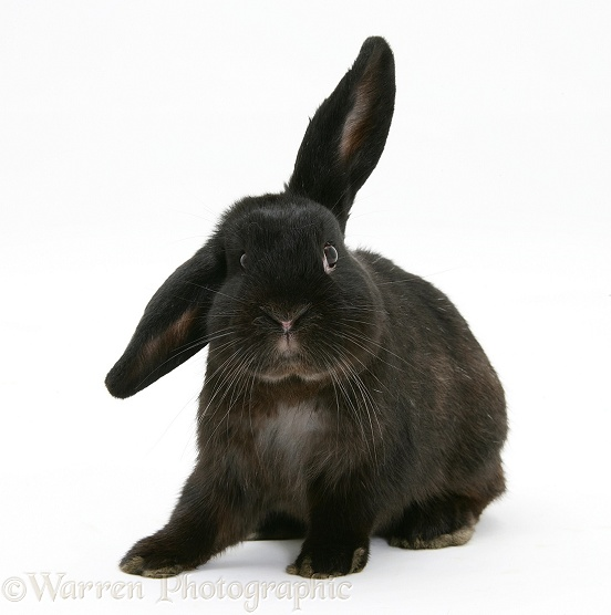 Black rabbit, white background