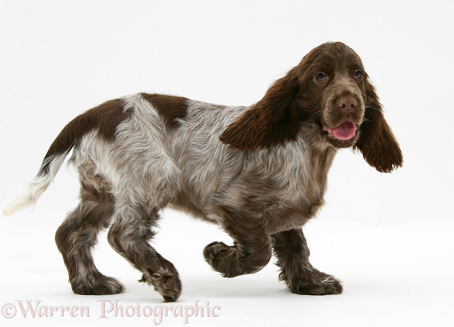 Chocolate roan Cocker Spaniel pup, Topaz, 12 weeks old, white background