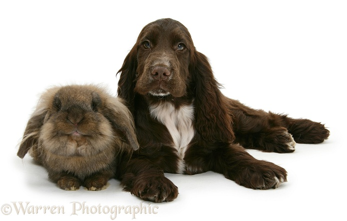 Chocolate Cocker Spaniel pup, Cadbury, 12 weeks old, with Lionhead rabbit, white background