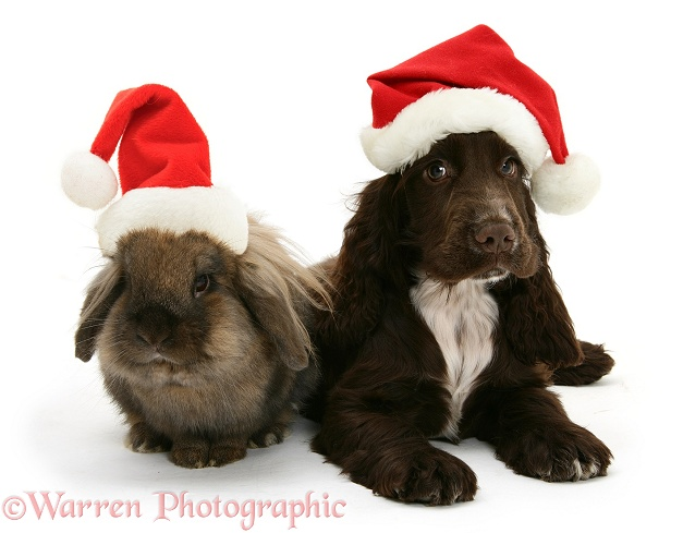 Chocolate Cocker Spaniel pup, Cadbury, 12 weeks old, and Lionhead rabbit with Father Christmas hats on, white background