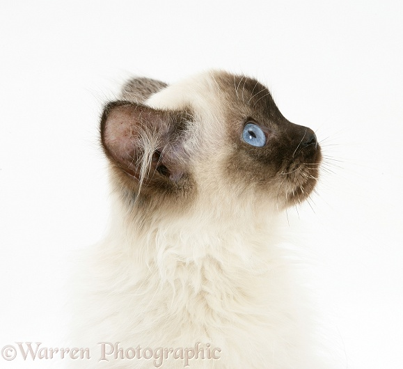 Ragdoll kitten, 12 weeks old, white background