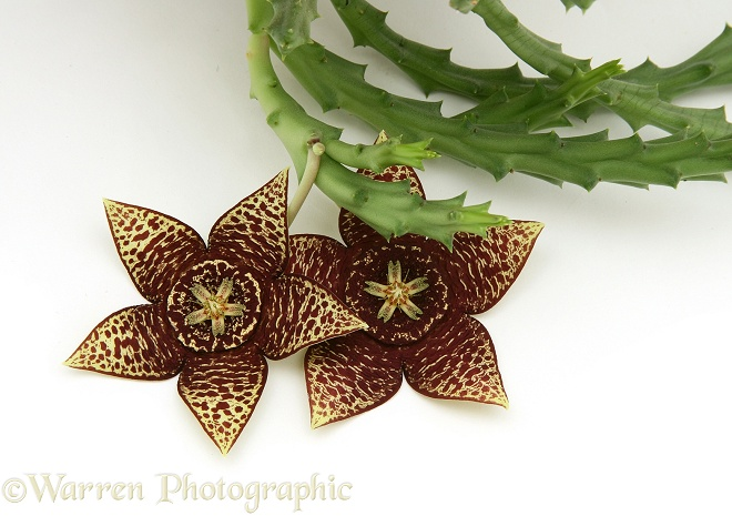 Carrion Flowers (Stapelia variegata), white background