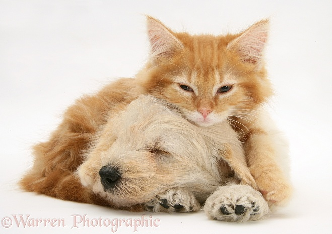 Sleepy Woodle (West Highland White Terrier x Poodle) pup and ginger Maine Coon kitten, white background