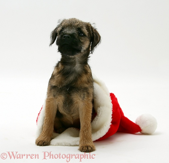 Border Terrier bitch pup, Rusty, 10 weeks old, in a Father Christmas hat, white background