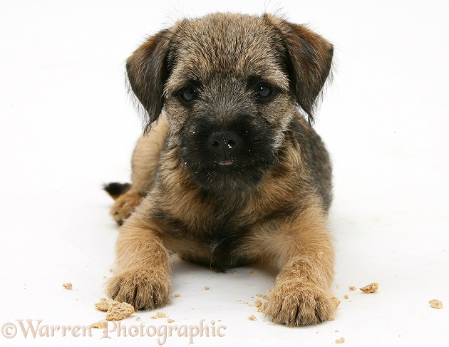 Border Terrier bitch pup, Rusty, 10 weeks old, after eating a Bonio biscuit, white background