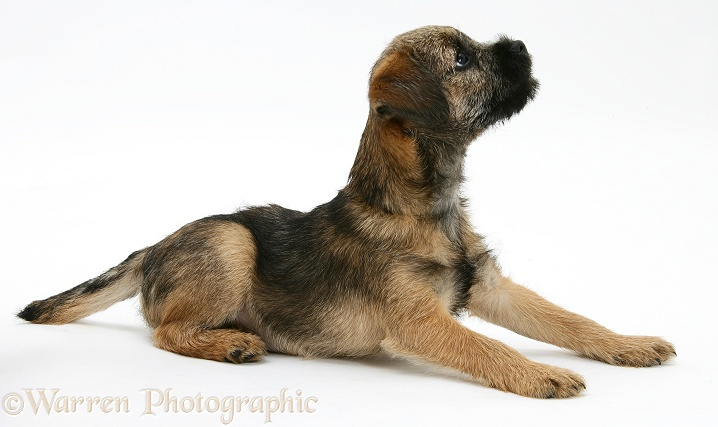Border Terrier bitch pup, Rusty, 10 weeks old, white background